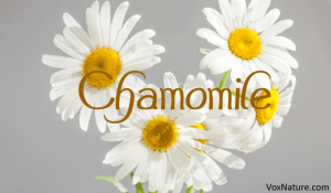 Chamomile: A Superb Herb with Great Benefits