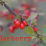Health Benefits of Barberry (Oregon Grape)