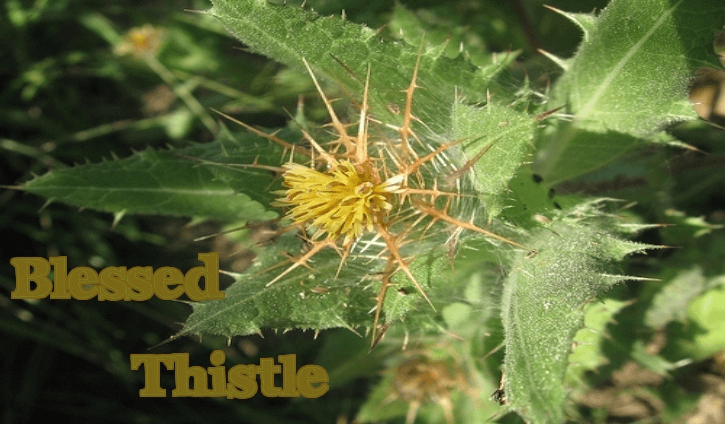 scientifically known as Cnicus Benedictus Health Benefits of Blessed Thistle (Cnicus Benedictus)