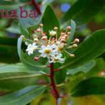 Benefits and Uses of Catuaba (Erythroxylum catuaba)