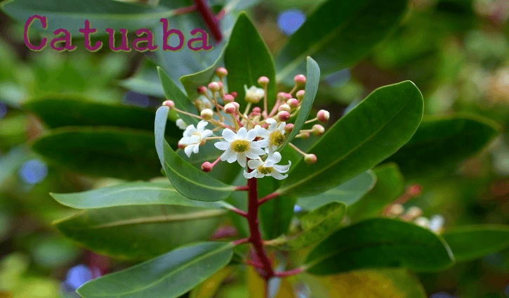 Catuaba is a tree native to the lands of Brazil Benefits and Uses of Catuaba (Erythroxylum catuaba)