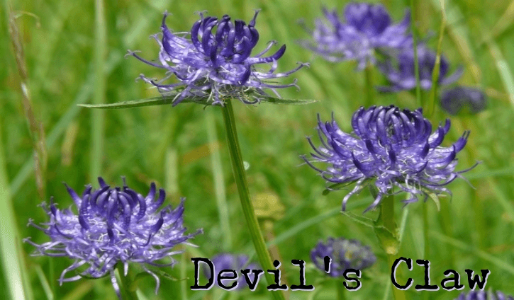 the plant Harpagophytum is actually a member of the sesame family Health Benefits and Uses of Devil's Claw (Harpagophytum)
