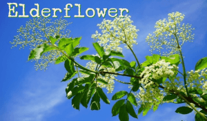 Health Benefits and Uses of Elderflower