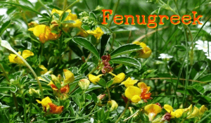 Medicinal Uses of Fenugreek (Trigonella foenum-graecum)