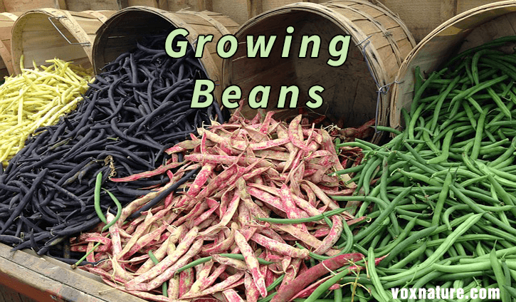 there are numerous benefits to growing and eating beans How to Properly Grow and Plant Beans