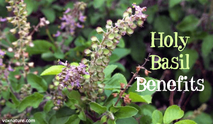 or more commonly known as holy basil or tulsi Medicinal Uses of Holy Basil (Tulsi)