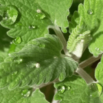 Benefits and Uses of Catmint (Catnip)