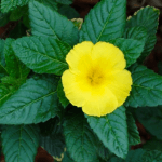 Benefits and Uses of Damiana (Turnera Diffusa)