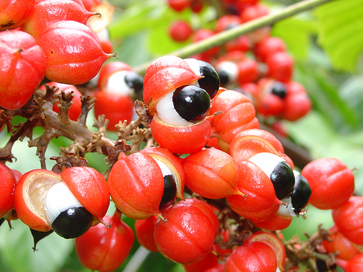 It is commonly found in Brazil and is native to the Amazon basin Benefits and Uses of Gua Benefits and Uses of Guarana (Paullinia cupana)