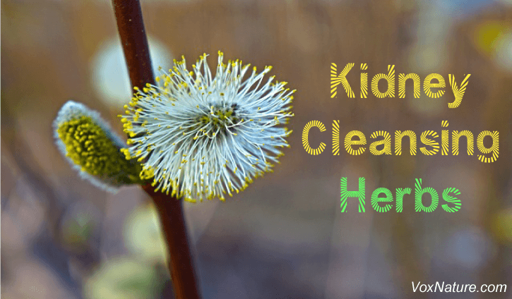Your kidneys are responsible for removing toxins and waste from your bloodstream 9 Powerful Herbs for Kidney Cleansing