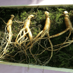 Benefits and Uses of Ginseng (Panax)