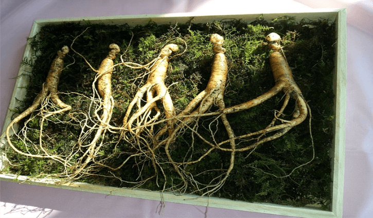 Ginseng is a perennial plant that is of the  Benefits and Uses of Ginseng (Panax)