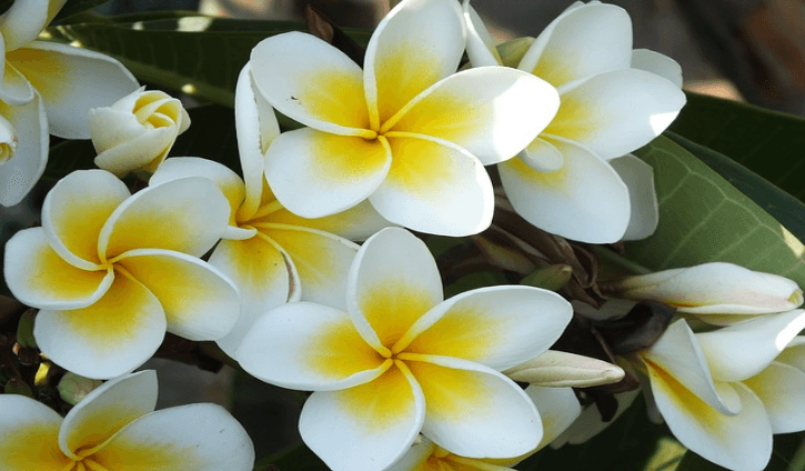 Found in tropical to warm temperate climates Medicinal Benefits and Uses of Jasmine (Jasminum)