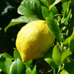 Health Benefits and Uses of Lemon (Citrus × limon)