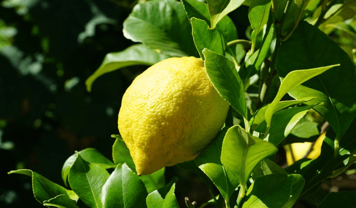 Lemon is a fruit native to an evergreen tree in Asia Health Benefits and Uses of Lemon  Health Benefits and Uses of Lemon (Citrus × limon)