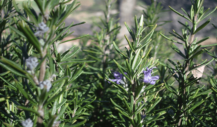 Health Benefits And Uses Of Rosemary Rosmarinus Officinalis