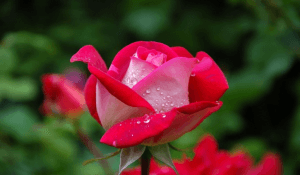Medicinal Benefits and Uses of Rose