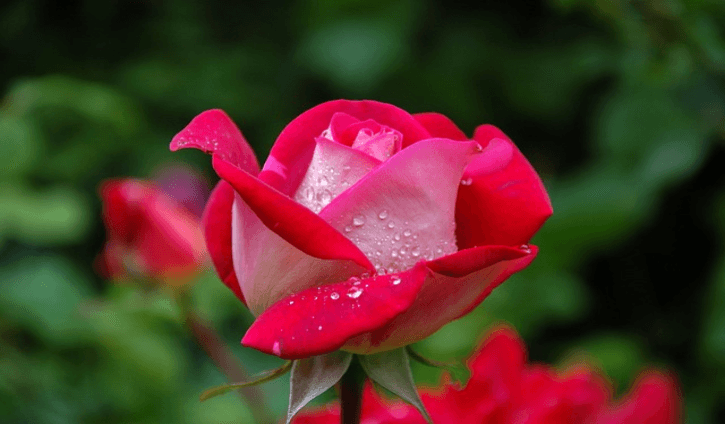 North America and northwest Africa and has over one hundred species Medicinal Benefits an Medicinal Benefits and Uses of Rose