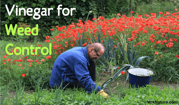Many gardeners are frustrated by the number and veracity of weeds Using Vinegar for Weed C Using Vinegar for Weed Control
