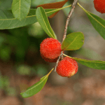 Health Benefits and Uses of Bayberry (Myrica cerifera)