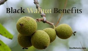 Medicinal Benefits & Uses of Black Walnut