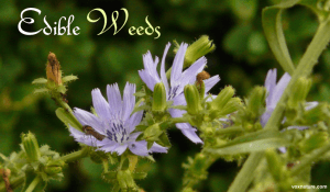 Edible Weeds Found In Your Garden