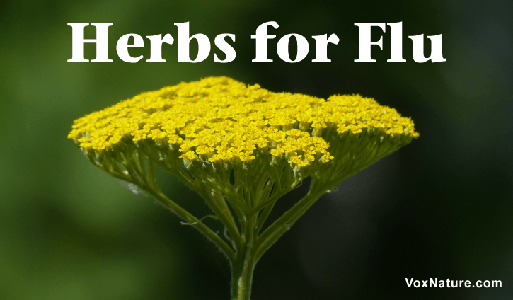 Potent Medicinal Herbs for Fighting Flu  Potent Medicinal Herbs for Fighting Flu Potent Medicinal Herbs for Fighting Flu