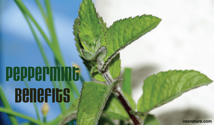 Peppermint has been used for centuries to heal a variety of ailments Health Benefits  Uses of Peppermint (Mentha × piperita)