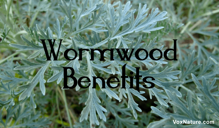is infamous for its bitter taste and being an ingredient in Absinthe Medicinal Benefits   Medicinal Benefits  Uses of Wormwood
