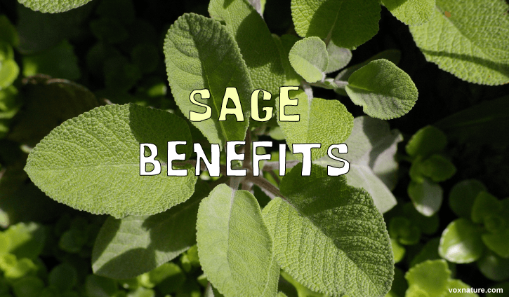 Sage has been used for culinary and medicinal purposes in various cultures for thousands o Medicinal Benefits of Sage (Salvia officinalis)