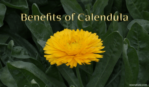 Medicinal Benefits of Calendula (Calendula officinalis)