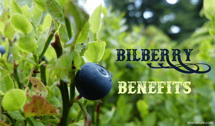 fruit and is found throughout Northern Europe Health Benefits of Bilberry (Vaccinium myrtillus)