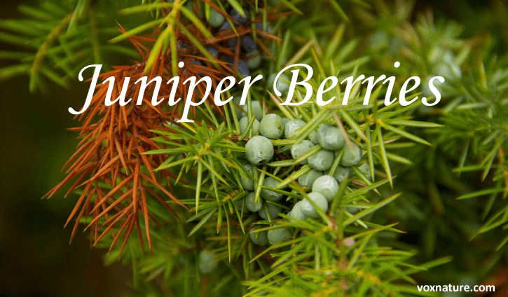 You may know that juniper berries are often used to flavor various types of gin Health Benefits of Juniper Berries (Juniperus virginiana)
