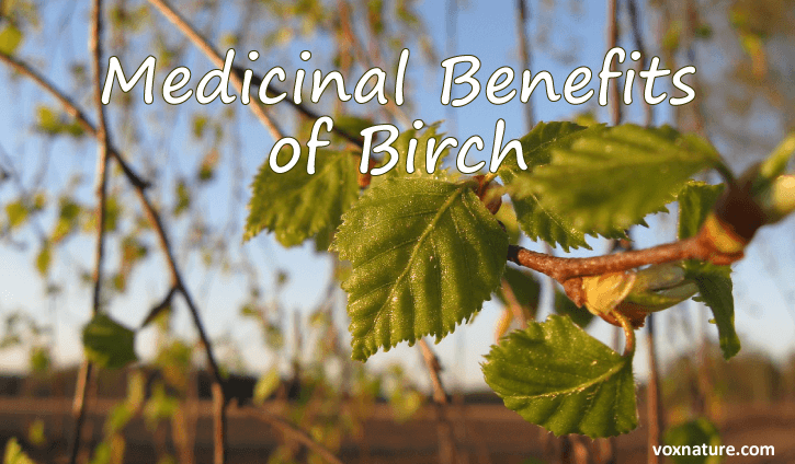 and leaves of the common birch tree have been used for hundreds of years to cure a variet Medicinal Benefits of Birch (Betula)