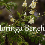 Moringa Oleifera: A Powerhouse Superfood