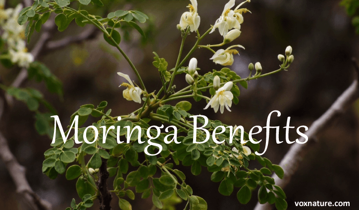 Almost every part of this tree can be consumed Moringa Oleifera: A Powerhouse Superfood