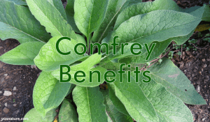Health Benefits and Uses of Comfrey (Symphytum)
