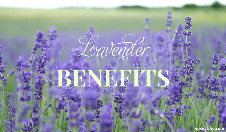 Lavender is much loved for its delightful aroma and relaxing properties Health Benefits and Uses of Lavender (Lavandula angustifolia)