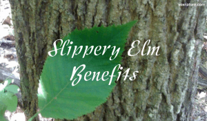 Health Benefits and Uses of Slippery Elm (Ulmus rubra)
