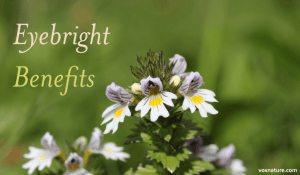 Health Benefits and Uses of Eyebright (Euphrasia Officinalis)