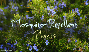 Plants that Repel Annoying Blood-Sucking Mosquitoes