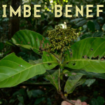 Health Benefits of Yohimbe (Pausinystalia johimbe)