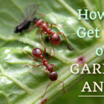 6 Natural Ways to Get Rid of Garden Ants