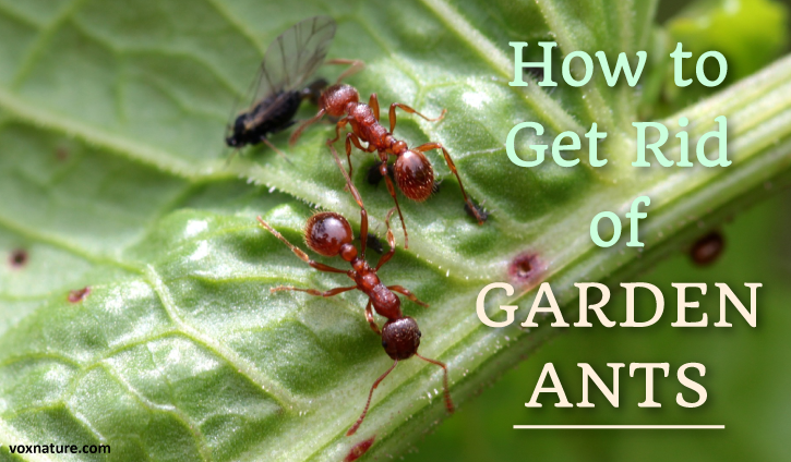 Ants are not an uncommon problem in most gardens  6 Natural Ways to Get Rid of Garden Ants