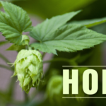 Health Benefits of Hops (Humulus lupulus)