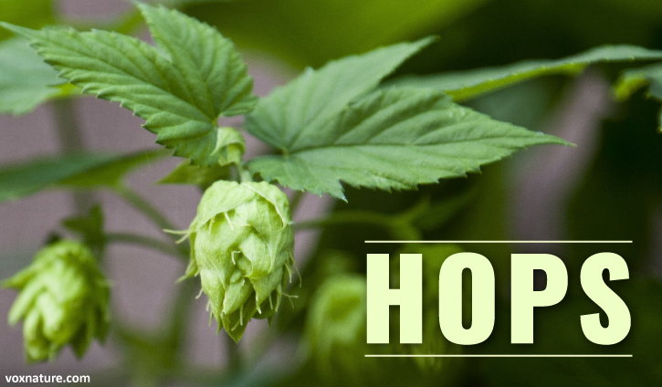 Your familiarity with hops may start and end with your knowledge that they are found in be Health Benefits of Hops (Humulus lupulus)