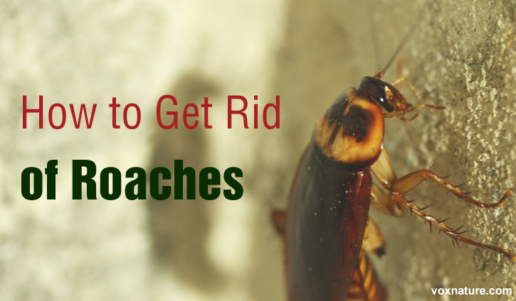 Natural Approaches to Get Rid of Roaches   8 Natural Approaches to Get Rid of Roaches