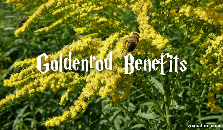 The goldenrod plant can be found in abundance during the late summer months Health Benefits of Goldenrod (Solidago)