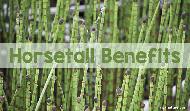 Horsetail is a perennial plant that represents a horse Health Benefits of Horsetail (Equisetum)