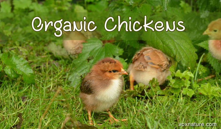 It is no longer a secret that organic chickens make for better How to Raise Organic Chickens